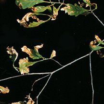 Anthracnose on White Oak