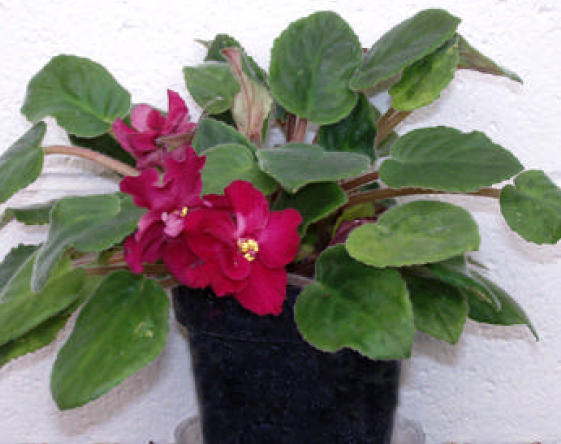 The blossoms of African violets can provide year-round color for your home.