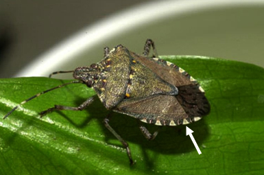 Adult brown marmorated stink bug. (Photo courtesy of David R. Lance, USDA APHIS PPQ, Bugwood.org)