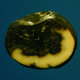 Bacterial soft rots cause the collapse of plant parts such as potato tubers. (Photo courtesy of the UW-Madison/Extension Plant Disease Diagnostics Clinic)