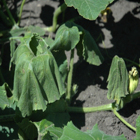 Sudden wilting and eventual death of melon, cucumber and squash plants can be due to bacterial wilt. (Photo courtesy of ISU-PIDC.)