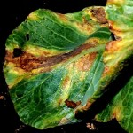 Black rot causes V-shaped yellow and brown/ dead areas in affected leaves. (Photo courtesy of Amanda Gevens)