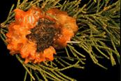 Conifer - Cedar Apple Rust