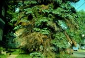 Conifer - Cytospora Canker