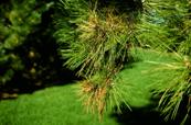 Conifer - Diplodia Tip Blight