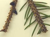 Conifer - Spruce Needle Drop