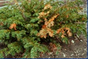 Conifer - Root and Crown Rot