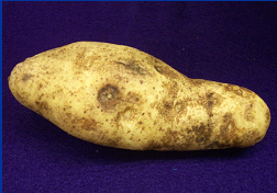 Tubers with corky ringspot may, but do not always have target-like ring patterns on their surfaces.