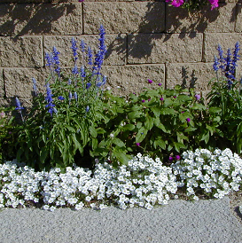 White cupflower combines nicely in the garden with tall blue salvia and pink globe amaranth.