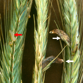 Production of honeydew (red arrow) and sclerotia (white arrows) are typical of ergot.