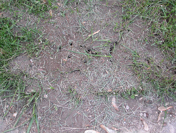 Field ants can produce mounds that are three to four feet wide and over two feet tall.
