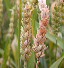 Fusarium head blight can cause grain heads to become completely bleached.