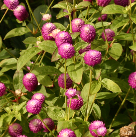 Globe amaranth produces clover-like flowers in pink, purple, white, orange and red.