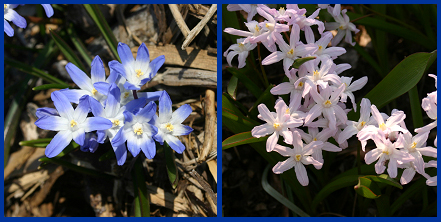 Glory-of-the-snow typically produces flat, star-shaped flowers that are pale blue with white centers (left). The variety 'Pink Giant' (right) produces pink to lavendar flowers.