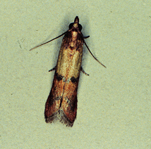 An adult Indian meal moth.