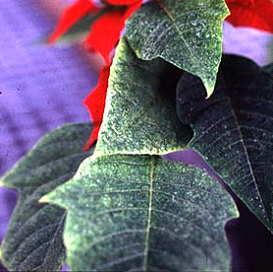 Lewis mite damage on poinsettia. (Photo courtesy of R. Lindquist, OARDC)