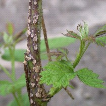 Anthracnose on raspberry canes. Note the sunken, gray centers and raised, purple edges. (Photo courtesy of Patricia McManus)