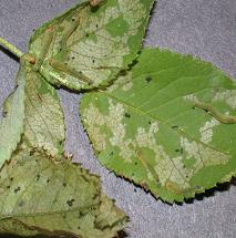Sawfly larvae and their feeding damage on a rose leaf.