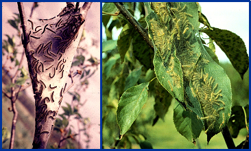 Eastern tent caterpillar (left) and fall webworm (right). (Fall webworm photo courtesy of David J. Shetlar.)