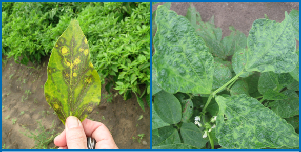 Cumber mosaic on pepper (left) showing yellowing and ring spots, and on broad bean (right) showing mosaic and puckering of leaf tissue. (Photos courtesy of Russ Groves)