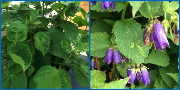 Cumber mosaic on hibiscus (left) showing mosaic and puckered leaves, and on bluebell (right) showing mosaic and line patterns. (Photos courtesy of Brian Hudelson)