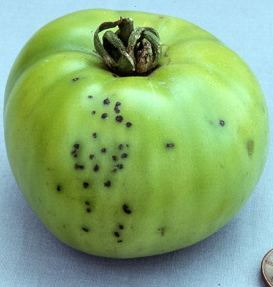 Small, brown/black spots on a green tomato characteristic of bacterial speck. (Photo courtesy of S. T. Koike)
