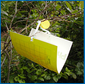 A blueberry maggot trap. (Photos courtesy of Rufus Isaacs, Michigan State University)