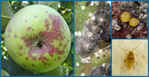 San José scale damage on apple fruit (left). San José scale black cap stage (center), female (upper right) and male (lower right). [Photos courtesy of Greg Krawczyk (Penn State University), E. Beers (Washington State University) and S. Schoof (North Carolina State University).]