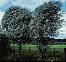 Trees in Wind