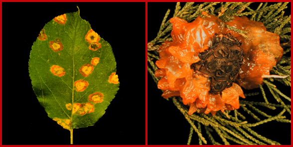 Yellow cedar-apple rust spots on an apple leaf (left) and slimy, orange, gelatinous cedar-apple rust galls on a juniper branch (right).