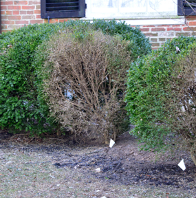 Boxwood blight can cause severe leaf loss and eventual death of boxwood shrubs. (Photo courtesy of David Clement, University of Maryland Extension)