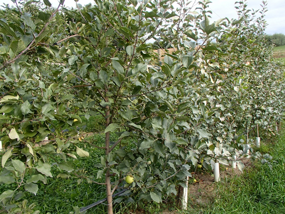 Young, vigorous high-density apple trees, with trees showing symptoms of silver leaf (on the right) adjacent to those that do not (on the left).