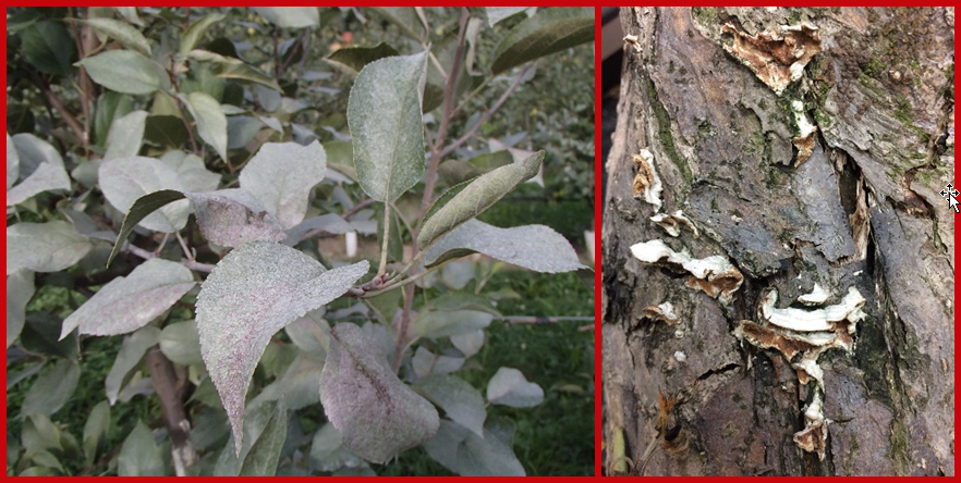 The silver sheen of leaves typical of silver leaf (left) and conks (i.e., reproductive structures) of the silver leaf fungus, Chondrostereum purpureum (right).