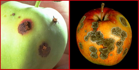 Bagging apples can help prevent damage due to insect pests such as codling moth (left) and diseases such as apple scab (right). (Photos courtesy of Christelle Guédot and the UW-Plant Disease Diagnostics Clinic).