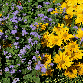 Blue-flowered ageratum pairs well in the garden with yellow-flowered ornamentals.