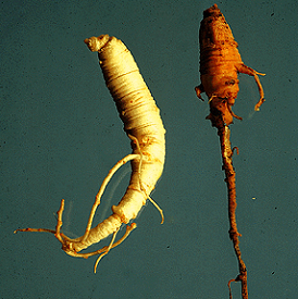 Healthy (left) and Phytophthora cactorum-infected (right) ginseng roots.