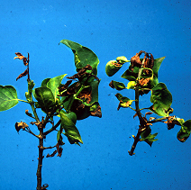 Death of lilac branch tips and leaves due to bacterial blight.
