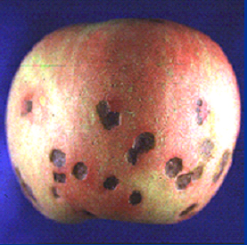 An apple with symptoms of bitter pit.