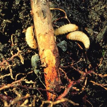 Black vine weevil larvae.
