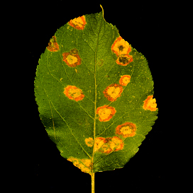Circular, yellow-orange diseased areas typical of cedar-apple rust on apple.