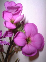 Dame's rocket flowers (enlarged).