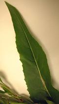 Dame's rocket leaf.