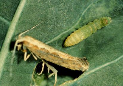 A diamondback moth larva and adult.