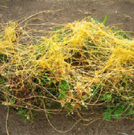 Spaghetti-like dodder plants parasitizing carrots.
