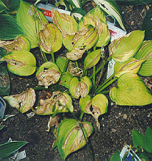 Striped dead areas on hosta leaves typical of infections by foliar nematodes.