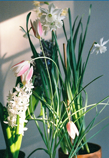 Hyacinths, tulips and narcissus forced into winter bloom indoors.
