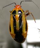 An adult plant bug.