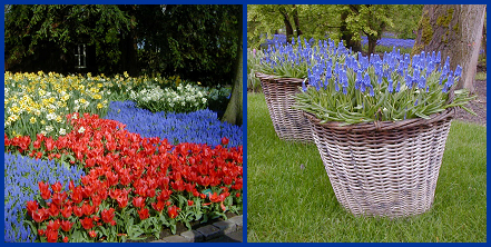Grape hyacinths can be particularly attractive when used in mass plantings in flowerbeds with other spring-flowering bulbs (left), or in mass plantings in containers (right).