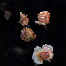 Severe gray mold can prevent rose blossoms from developing properly.