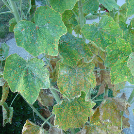 Hollyhock rust causes orange to yellow spots on leaves of hollyhock and other plants in the mallow family.  (Photo courtesy of Stephanie Porter)